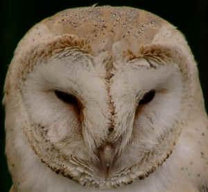 Barn Owl, Tyto alba, a Devon BAP species found at the ...
