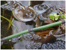 Offwell Woodland - frog appeal