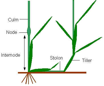 Grass features and structure the structure of grass plants ccuart Image collections