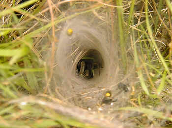 Agelena labyrinthica in its typical funnel-shaped web.