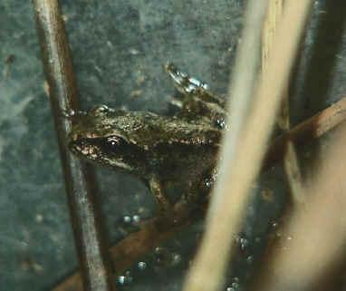 [转载]蝌蚪变青蛙 图 儿童节的礼物