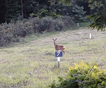 Roe doe on the project site.