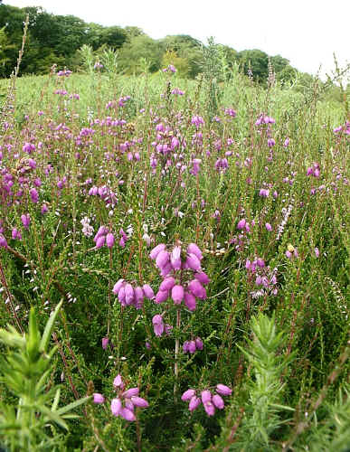 Bell Heather on the project site.