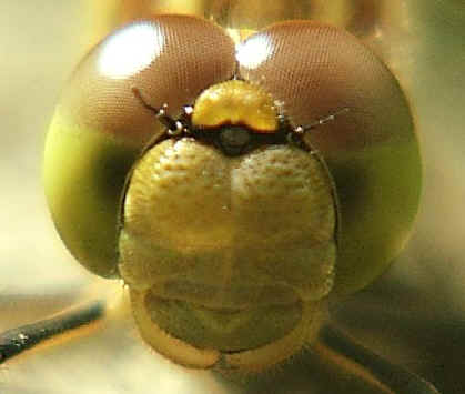 Head of a female Common Darter dragonfly