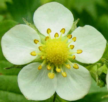 Wild Strawberry, Fragaria vesca, flower