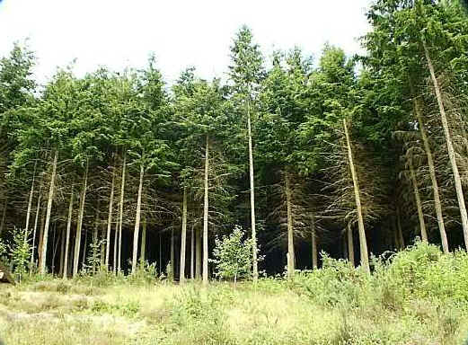 conifer_plantation.jpg