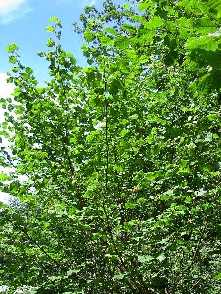 tree hazel