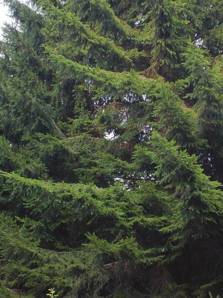 Norway spruce 5 jpg