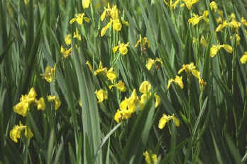 images and information on yellow iris., Beautiful flower